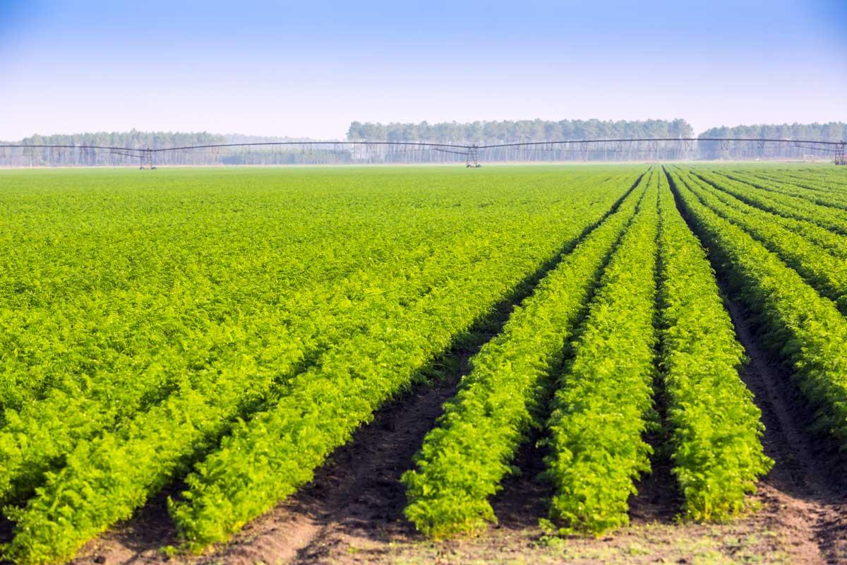 La production française de carottes