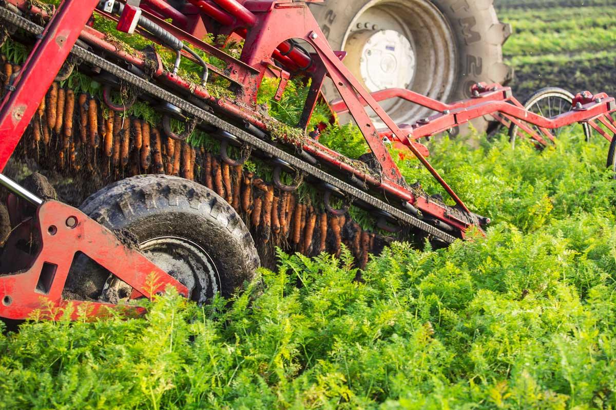 Récolte mécanique des carottes